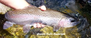grosse truite saumonée
